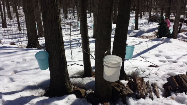 A Step-by-step Illustration of How Maple Syrup Is Made