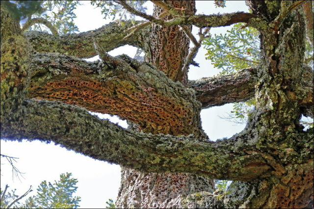 Old Douglas Fir Woodpeckers Covered With Acorns