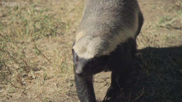 Incredibly Clever Honey Badger Will Do about Anything to Escape