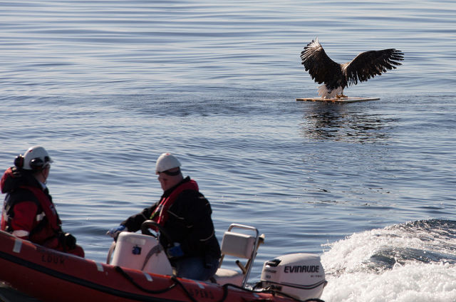 Drowning Eagle Saved by Rescue Boat