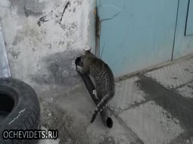 This Cat Knows How to Overcome Obstacles
