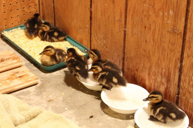 An Adorable Ducking Rescue Operation