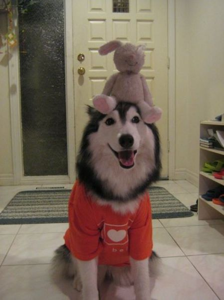 The Husky Who Thinks It's a Cat