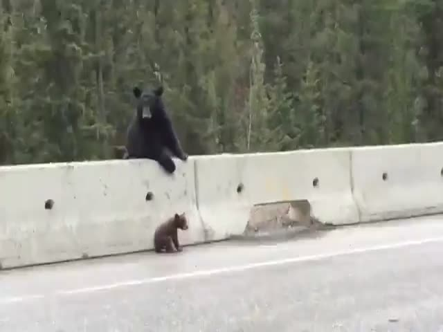 Mother Bear Saves Baby Bear from Highway  (VIDEO)