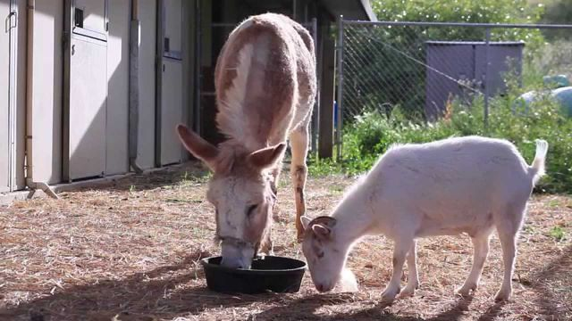 Goat Refuses to Eat Because It Misses Its Friend the Donkey