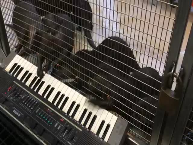 Adorable Otters Playing Keyboard