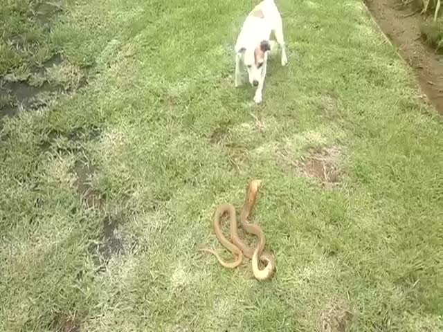 Fearless Jack Russell vs Cape Cobra