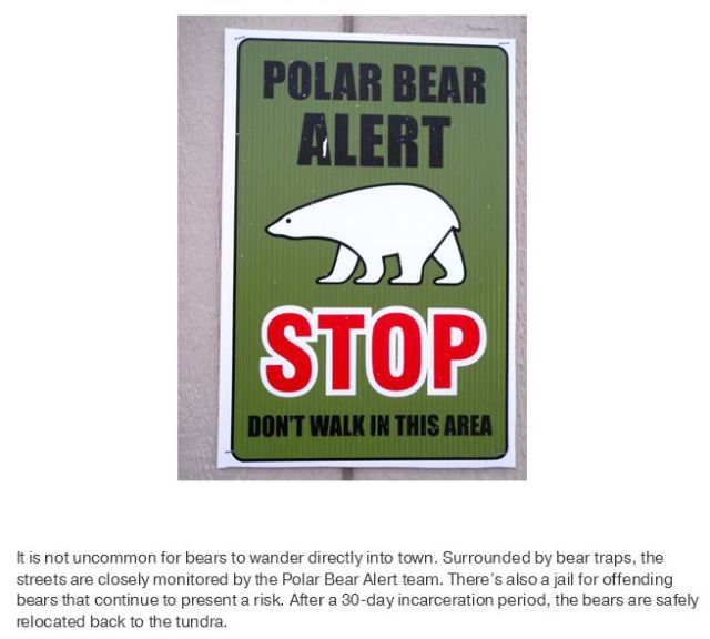 The Town with the Most Polar Bears