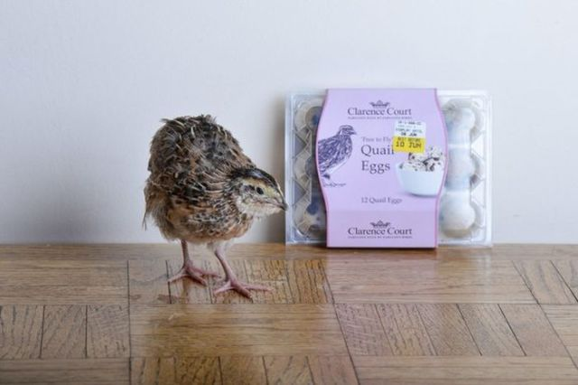 How to Hatch Your Own Baby Quail