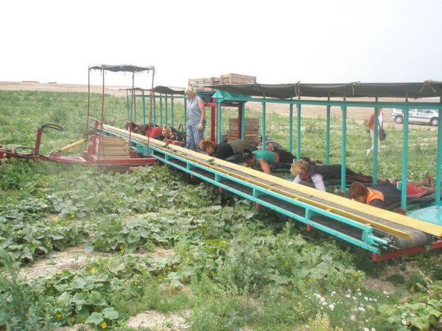 An Ingenious Harvesting Technique Used in Belarussia