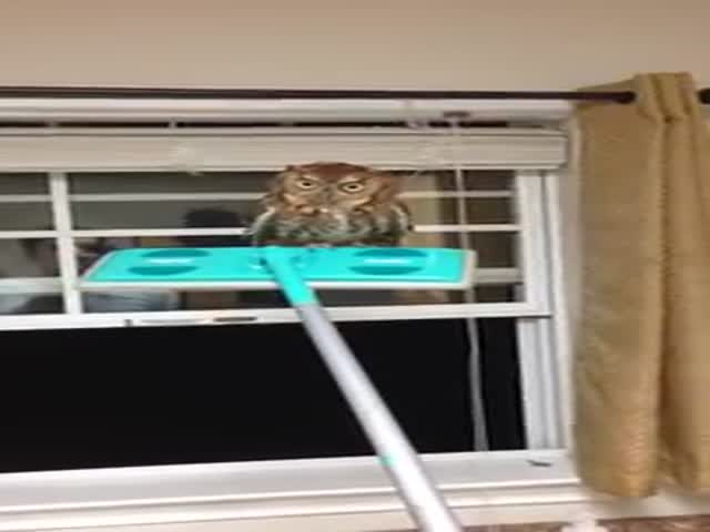 How to Remove a Wild Owl with a Swiffer