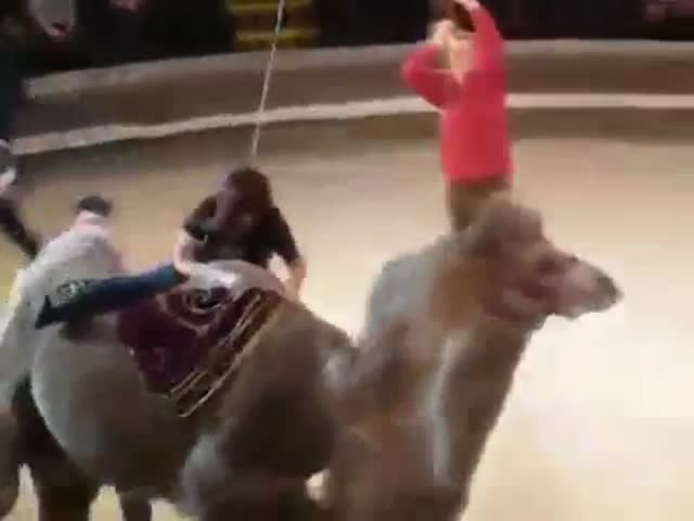 Russian Circus Camel Ride Gone Really Wrong  (VIDEO)