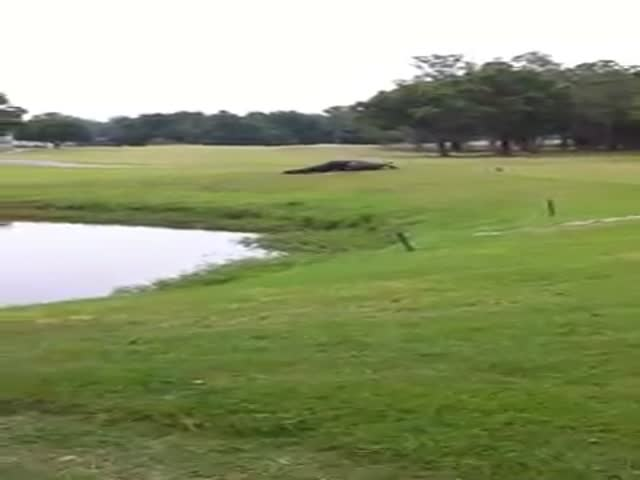 Gators Battle It Out on the Golf Course  (VIDEO)