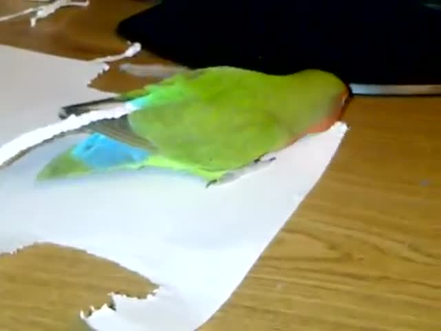 This Lovebird Just Wants to Make Her Tail Longer
