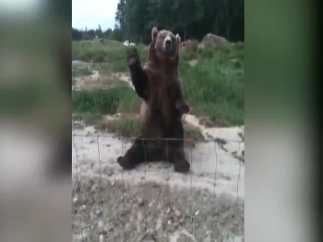 A Fascinating Look at Bears Doing Funny Things  (VIDEO)