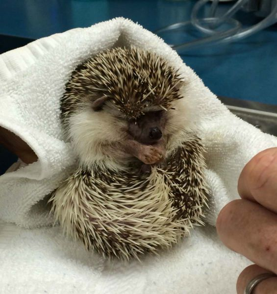 A Hedgehog Under Anaesthesia Is the Cutest Sight Ever