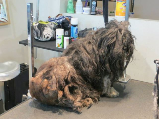 A Bedraggled Pile of Fur Becomes a Sweet Little Dog with Some TLC