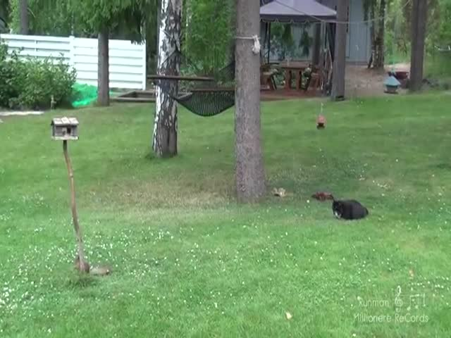 Cat Chasing Squirrel Fail  (VIDEO)