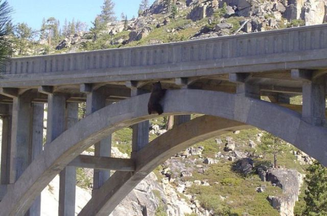 A Daring Bear Rescue from a Bridge