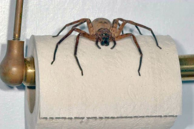 A Non Venomous Australian Spider