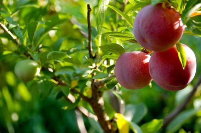 A Tree That Can Actually Grow 40 Different Kinds of Fruit