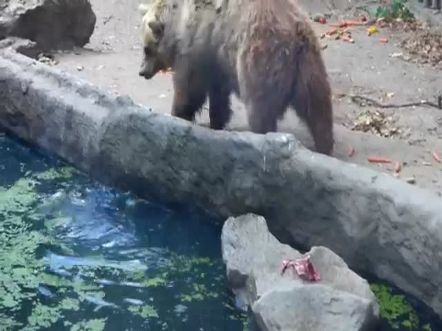 The Unexpected Moment a Bear Saves a Crow from Drowning