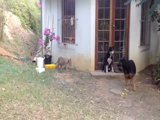 Sneaky Lion Cub Gives Dog a Good Scare  (VIDEO)