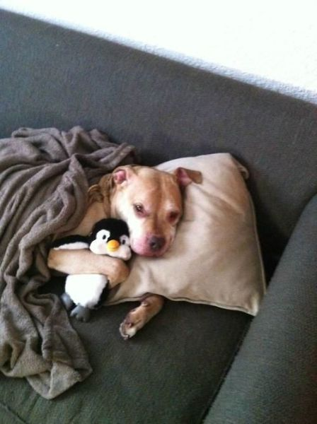 The Cuter and Softer Side of Pitbulls