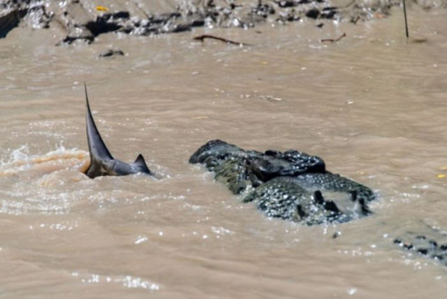 An Unusual Fight between a Crocodile and a Shark