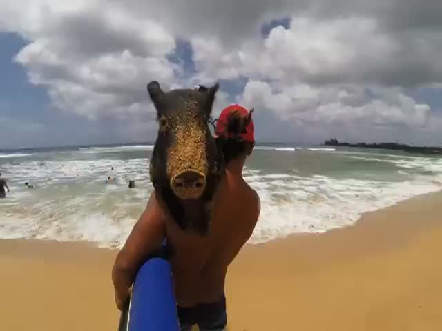 Meet Kama the Hawaiian Surfing Pig