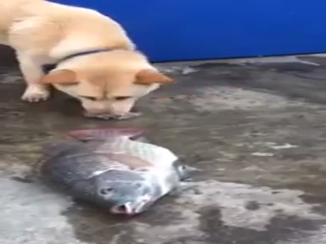 Kind Dog Tries to Save Fish  (VIDEO)