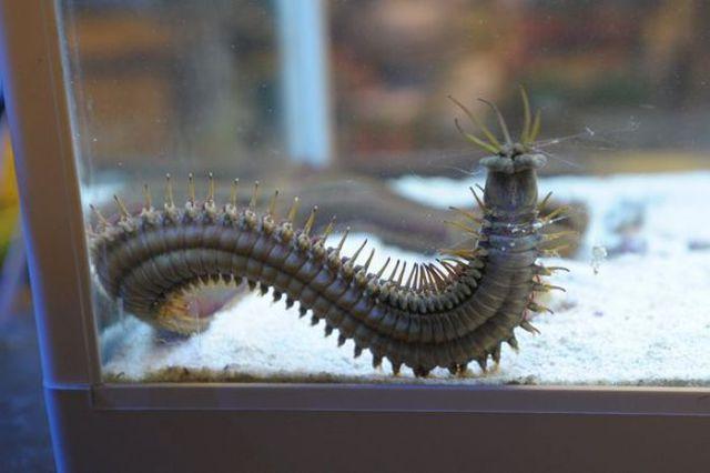 The Bobbit Worm Is One Creepy Creature