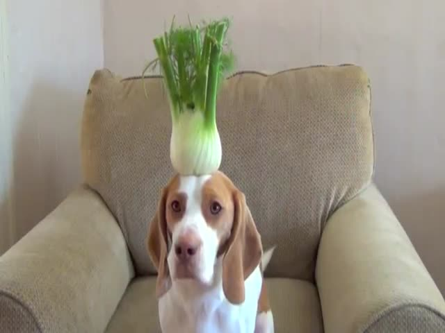 Dog Balances 100 Fruits and Vegetables on Its Head in 100 Seconds
