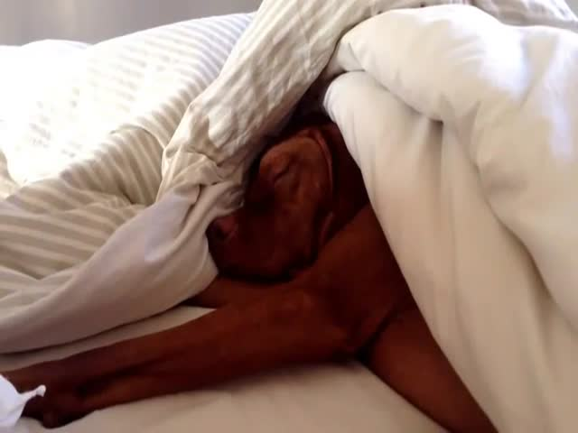 Dog Hates Mornings and Alarm Clocks Just as Much as Everyone Else  (VIDEO)