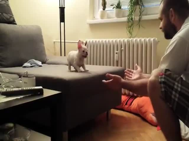 French Bulldog Puppy's Leap of Faith