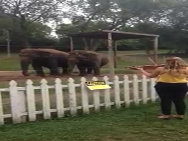 Elephants Can't Resist Dancing to Violin Music