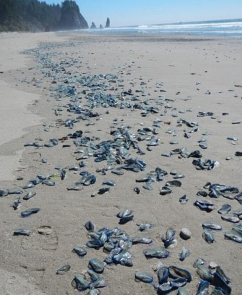 Californian Beaches are Overrun with Alien-like Sea Creatures