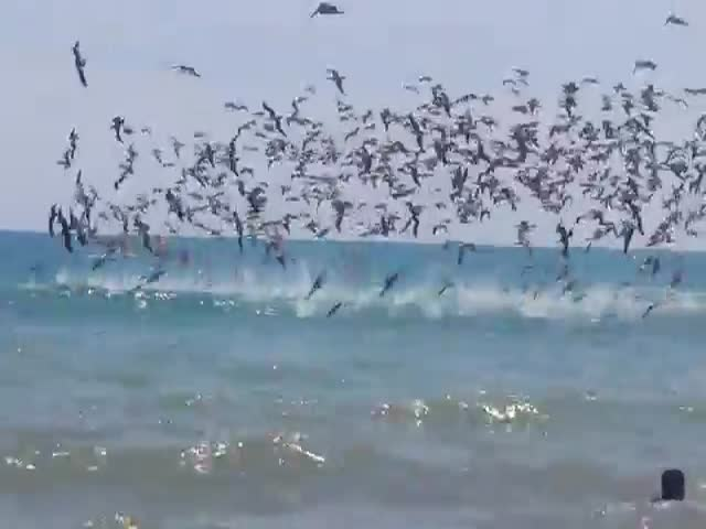 A Flock of Pelicans Storm the Ocean for Food  (VIDEO)