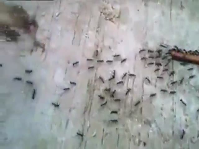 Ants Pull Together to Take Dinner Home!  (VIDEO)