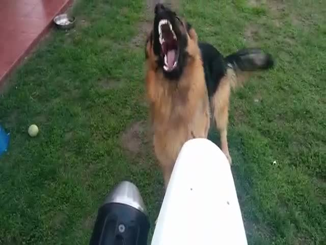German Shepard Attacks a Motorcycle Exhaust and the Result is Hilarious