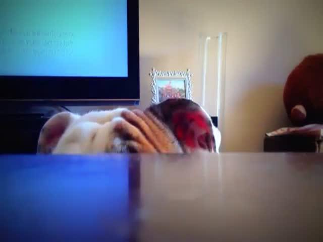 Cute Footage of Bulldog Playing Hide and Seek  (VIDEO)