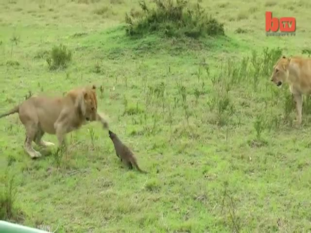 Bold and Fearless Mongoose Stands Up to Lions