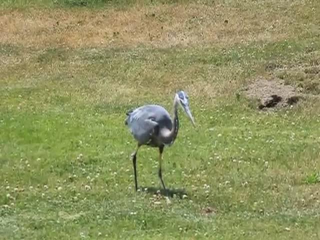 Blue Heron Eats a Gopher