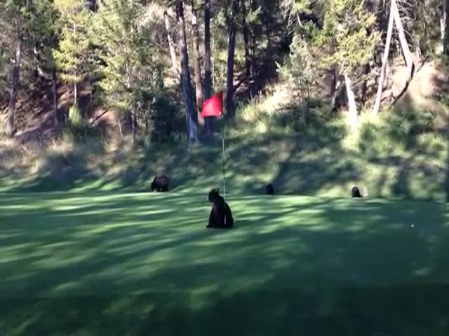 Bear Cub Plays with Flag on Golf Course Green