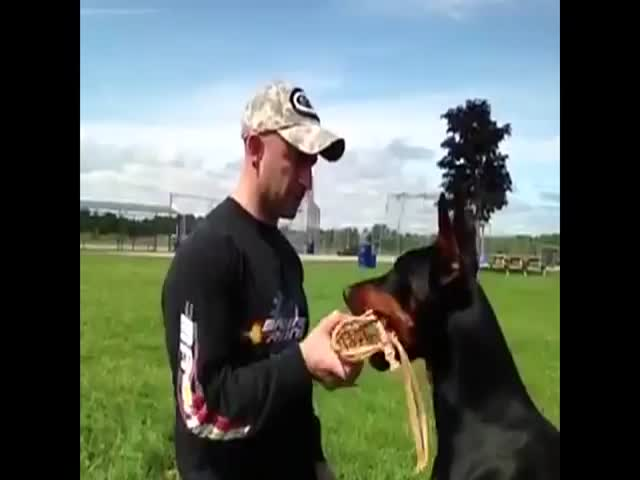 Impressively Well Trained Doberman