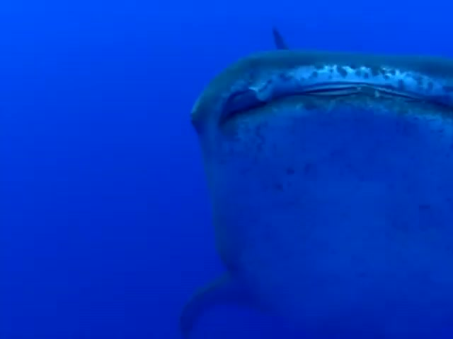 Giant Whale Shark Sneaks Up on Diver
