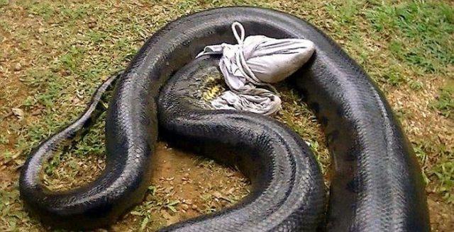Guy Catches a Massive Anaconda Snake While Fishing