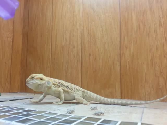 Bearded Dragon's Dinner Time Gets Funny with Subtitles  (VIDEO)