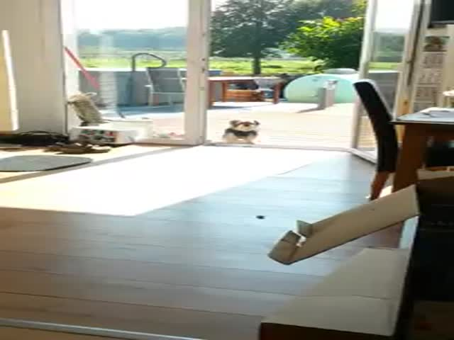 Dog Thinks Open Glass Door Is Closed