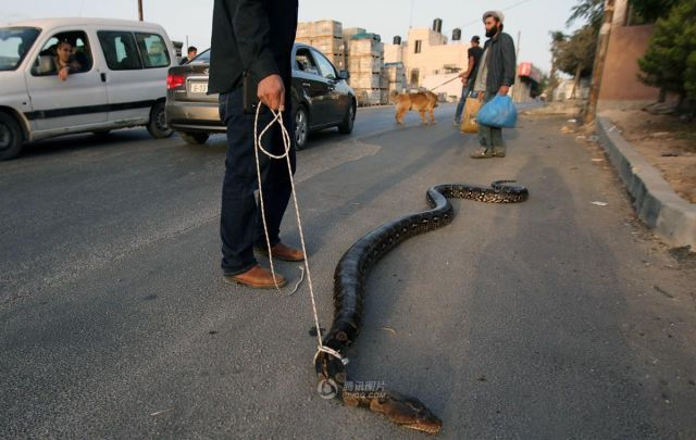 Pakistani Dude Takes a Very Strange Pet for a Walk